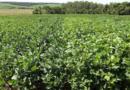 Soja em sucessão à aveia-preta e ao trigo pode ter produtividade 54% maior