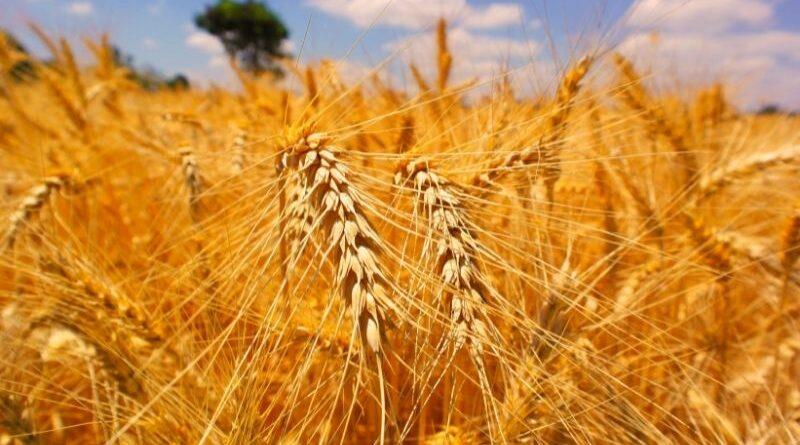 """""""O ano será bom para o produtor de trigo"""", diz Brandalizze Consulting"""