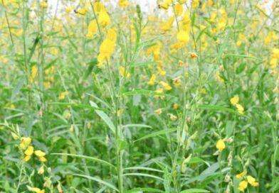 Importância da cobertura de solo e adubos verdes